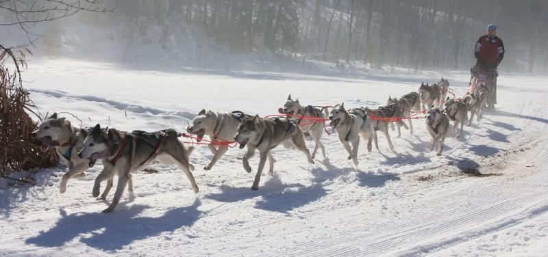 Das Ziel in Sichtweite - die Huskys sind ausdauernde Laufhunde.