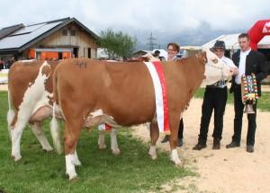 Gesamtsieger Fleckvieh mittelalte Kühe. Foto: Josef Schipflinger