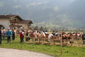 Gesund, vital und almtauglich - die Viehzüchter des Wörgler Bodens präsentieren so wie hier ihre Tiere im Rahmen einer Jubiläumsausstellung am 30. April 2016 in Wörgl beim Schwoicherbauern. Foto: Rinderzuchtverband Tirol