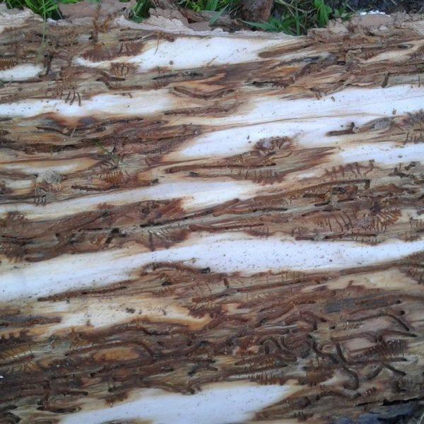 So sieht die Rinde eines Baumes aus, wenn er vom Borkenkäfer befallen wurde. © Land Tirol/Landesforstdirektion