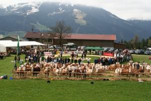 Preisrichten zählt zum Bestandteil von Viehausstellungen. Foto: Rinderzuchtverband Tirol