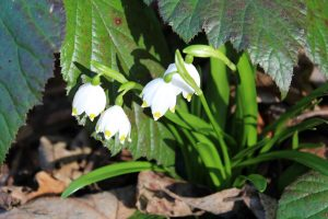 Frühlingsknotenblumen sind ebenfalls entlang des Fuchsweges zu finden und im Frühjahr wertvoll für die Bienenvölker der Imker. Foto: Spielbichler