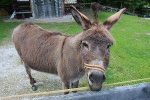 Tierische Begegnung am Bruggberg - hier sind Esel zuhause. Foto: Spielbichler
