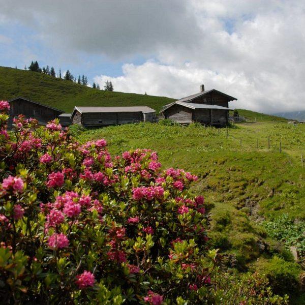 Die Wörgler Naturfreunde laden am 27. Mai 2018 zur Almrosenwanderung. Foto: Naturfreunde Wörgl