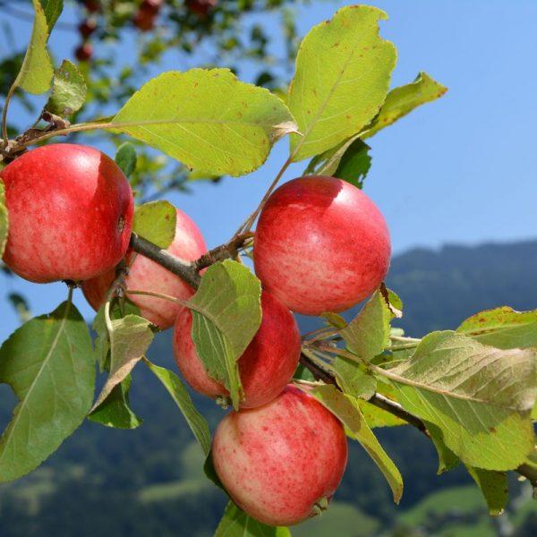 Damit Obst richtig gedeiht, braucht es den richtigen Baumschnitt. Der OGV Wörgl zeigt am 7. März 2020 in Wörgl, wie´s richtig geht. Foto: Veronika Spielbichler
