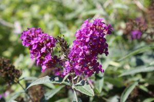 Sommerflieder - Schmetterlingsstrauch Wörgler Freigarten. Foto: Veronika Spielbichler