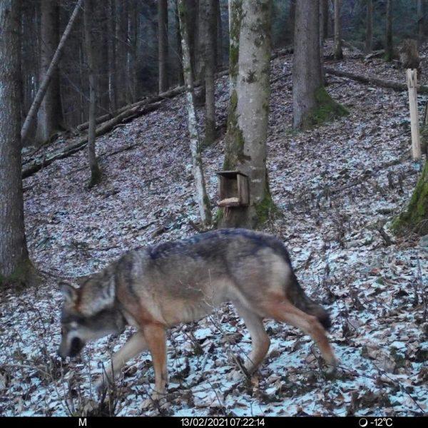 Wolfssichtung in Kirchbichl am 13.2.2021. Foto: Wildkamera von Revierjäger Hans Achrainer