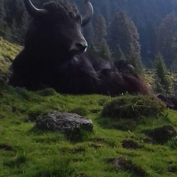 Gabi Brunners Tiroler Bio-Yaks leben im Sommer auf der Alm in der Kelchsau. Foto: Gabi Brunner